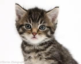cute tabby kitten 6 weeks photo wp35564