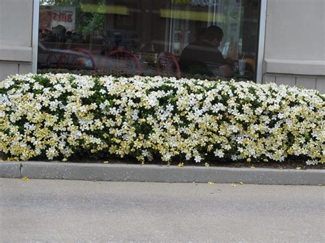 Gardenia Hedge My Search Continues For A Hardy Gardenia What Grows