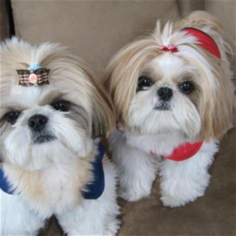 shih tzu chien shih tzu caract 232 re origine prix 233 ducation et conseils race de chien fr
