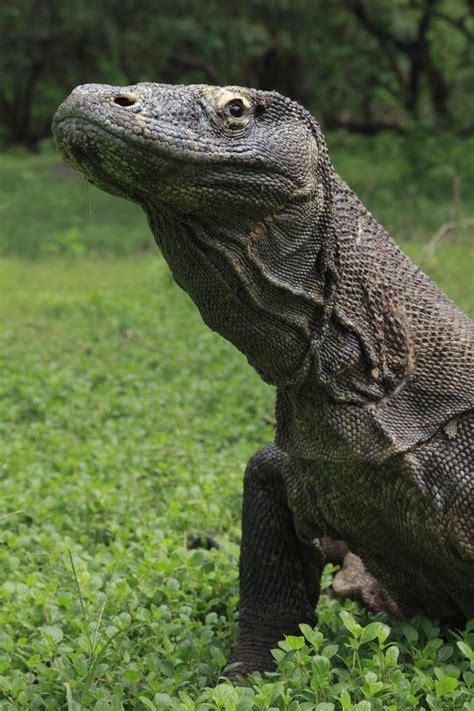 komodo dragon varanus komodoensis reptiles animaux
