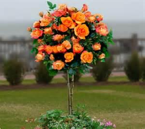 Patio Tree Rose Cottage Farms 36 Quot Redgold Patio Tree Rose Qvc Com