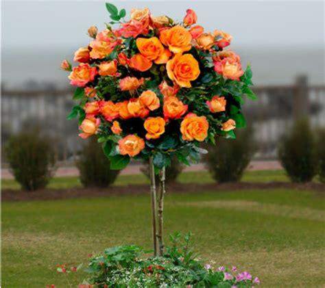 cottage farms roses cottage farms 36 quot redgold patio tree qvc