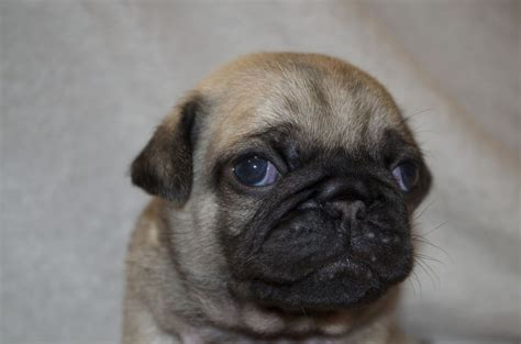 silver pug breeders pug puppies sale breeds picture