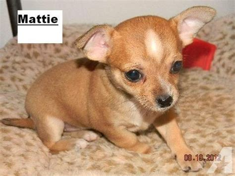chihuahua puppies for sale in ct chihuahua puppy for sale in superior wisconsin classified americanlisted