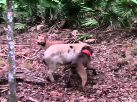 hog with dogs hog with dogs and knives vol 3 funnycat tv
