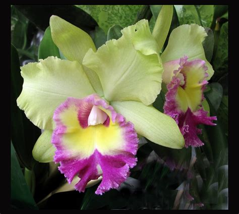 Cattleya Orchid Hybrids In Our Basement Greenhouse » Home Design 2017