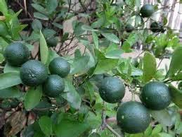 Minyak Atsiri Jeruk 12 manfaat daun jeruk purut tanaman bunga hias