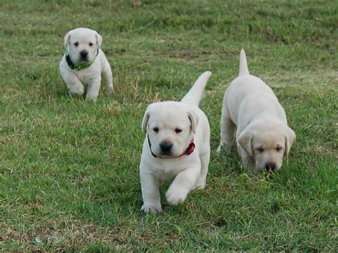 lab puppies for sale chocolate labrador retriever great pyrenees pups for sale in canning breeds picture