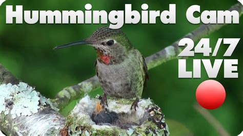 hummingbird live cam 1 youtube