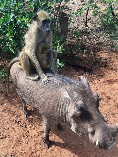 zimbabwe warthog   friends   baboons  love  ride    daily mail