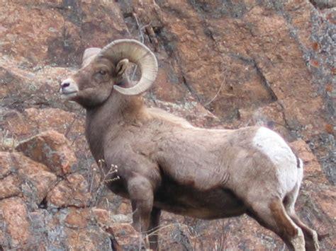 new year animals ram greenspot on animal advice from an er expert