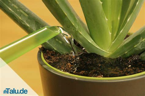 Pflege Aloe Vera Pflanzen 2373 by Pflege Aloe Vera Pflanzen Aloe Vera Zierpflanzen
