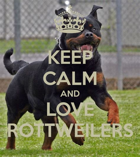 how big do rottweilers get the 10 cutest rottweilers who can t get enough of adorable urdogs