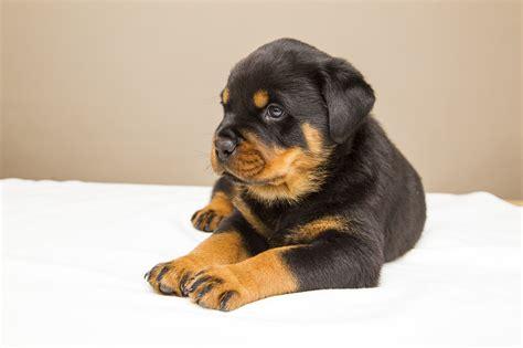 wann ist ein mops ausgewachsen wann ist ein hund ausgewachsen hundeblogger