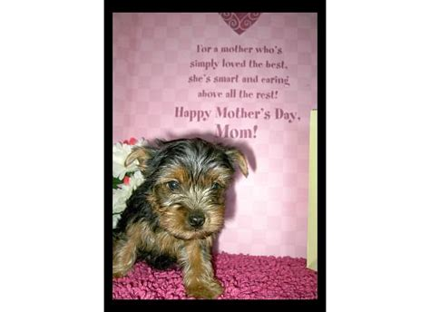 teacup yorkies for sale in cincinnati ohio yorkie puppies for sale adoption from cincinnati ohio adpost classifieds gt usa