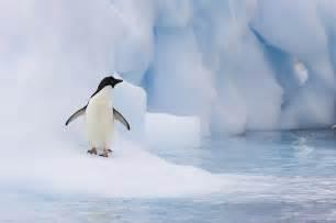 Curtains Long Island Adelie Penguin On Melting Iceberg Photograph By Suzi Eszterhas