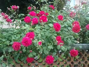 roses plant desicomments com