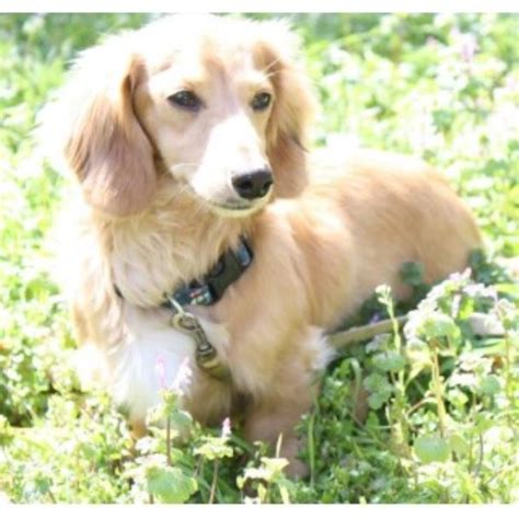 dachshund puppies pa dachshund doxie breeders in pennsylvania freedoglistings breeds picture