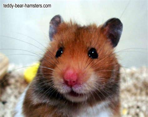 Gallery Teddy Bear Hamsters