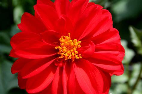 flores rojas fotos de flores rojas auto design tech