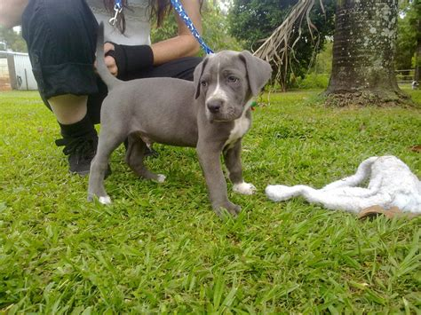 blue bandog puppies for sale for sale blue bandog puppy