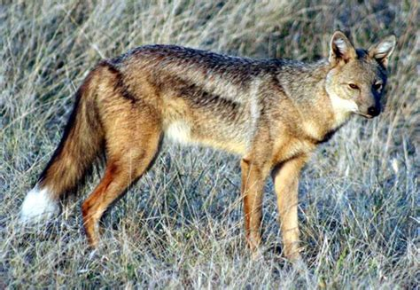 born jackal meaning eduard pechu 235 l loesche s pet jackals natural history