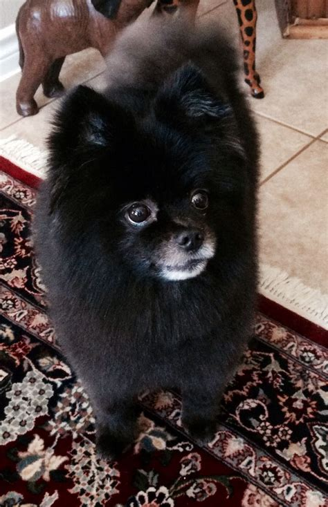 black pomeranian haircuts 25 best ideas about black pomeranian on baby bears bears and what