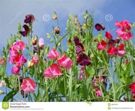 garden sweet pea flowers h royalty free stock image
