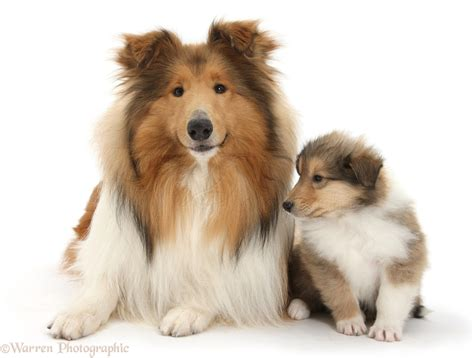 cat and puppy collie and puppy photo wp38305