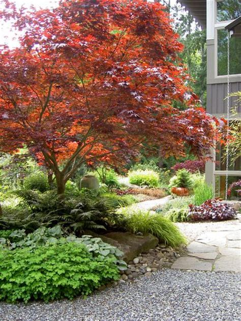 perhaps the ultimate specimen tree japanese maples acer palmatum come in an almost