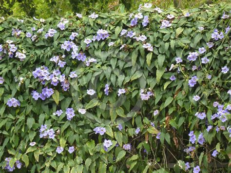 thunbergia laurifolia sky flower blue trumpet vine laurel leaf thunbergia purple allamanda