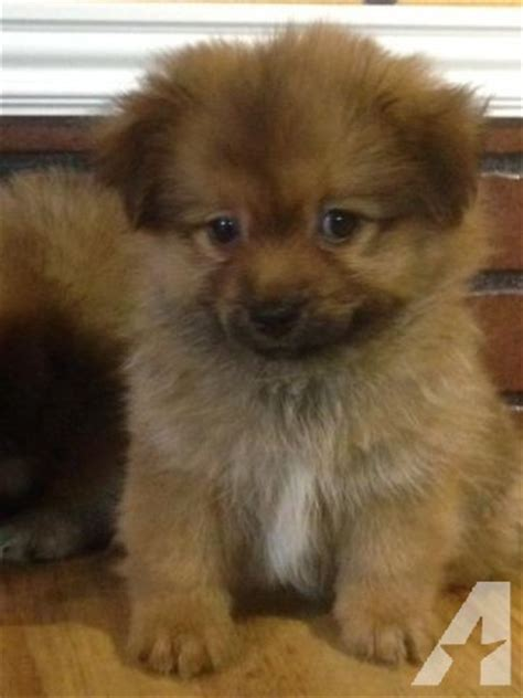 pomeranian puppies for sale stockton ca pomeranian pekingese mix puppies 8 weeks for sale in stockton california