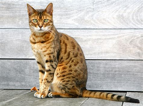 bengal cat sitting on weathered deck photograph by