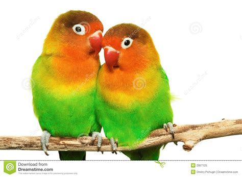 pair of lovebirds royalty free stock photo image 2957125