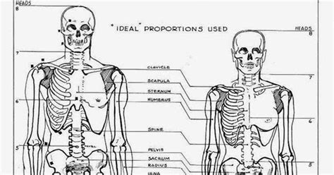 difference between and skeleton diagram difference between and skeleton major