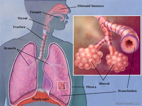 where are your lungs located in your diagram the lungs human anatomy picture function definition