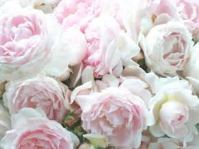 Beautiful. pale pink cabbage roses   Roses   Pinterest