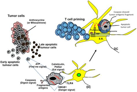 How To Detox Dead Cancer Cells From Chemo And Radiation by Frontiers Therapeutic Implications Of Immunogenic Cell