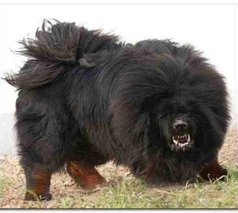 most aggressive breeds 10 most dangerous breeds pictures reference