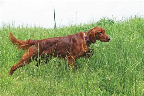 red setter gun dog the ugly truth can show dogs be hunting dogs gun dog