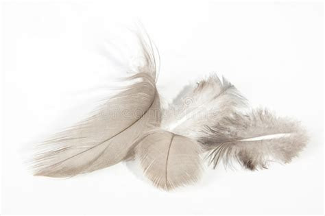 Four Fluffy Light Fine Textured Feathers On White Stock White Fluffy Lights