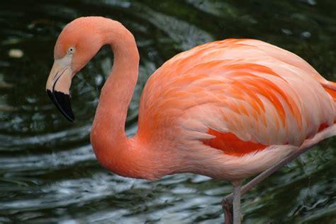 flamingos birds wallpaper flamingo birds wallpapers asimbaba free software