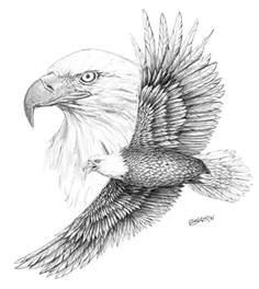 pencil drawings pencil drawings bald eagles
