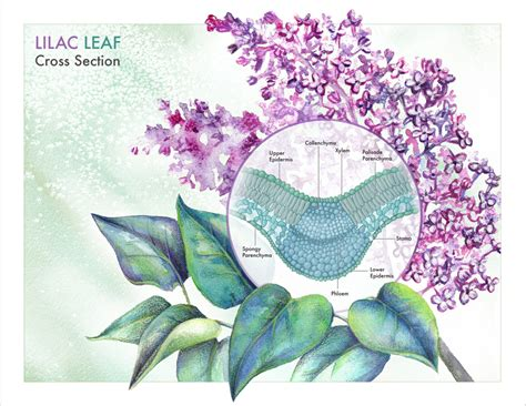cross section of lilac leaf lilac leaf cross section labeled image search results
