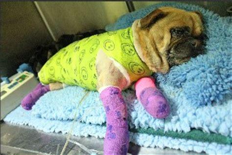 adopt a pug sydney 2013 bushfire appeal