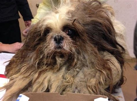 cleveland apl dogs must see before after photos of rescued shih tzu dogs cleveland