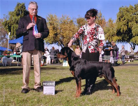 rottweiler show dogs izzy the rottweiler competes for show chionship richmond confidential