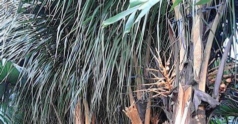 jual pohon kelapa jual tanaman hias pohon pelindung