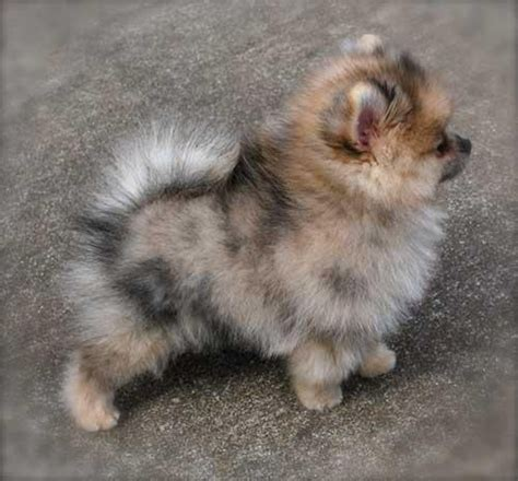 colored pomeranian puppies best 25 teacup pomeranian puppy ideas on teacup animals pomeranian puppy
