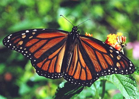 The Monarch Butterfly esciencecommons do monarch butterflies use drugs